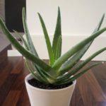 Ossigeno puro in casa con questa pianta